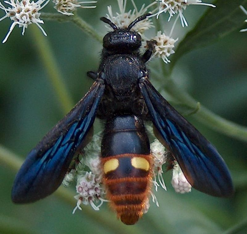 Blue-winged Wasp (Scolia dubia) 2