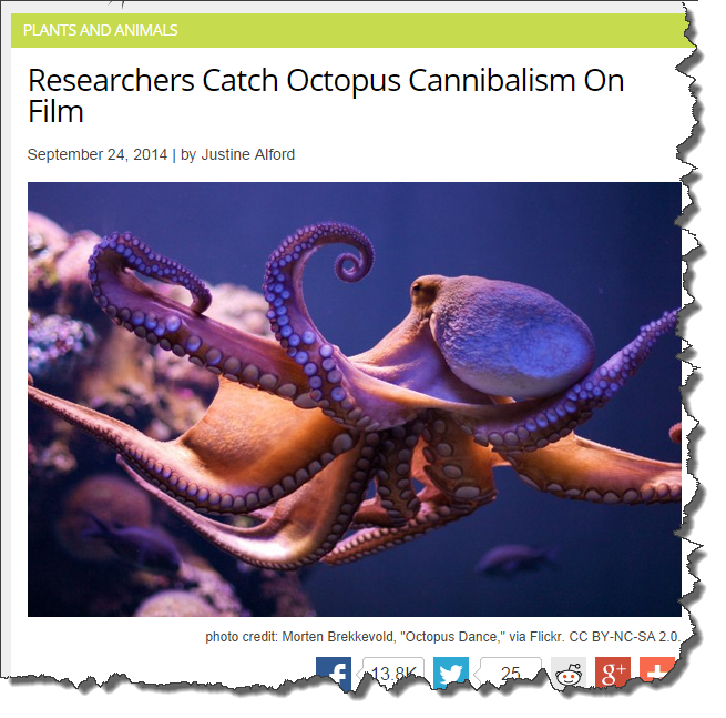Octopus_cannibalism