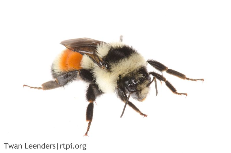 Tricolored-Bumble-Bee-Bombus-ternarius-2