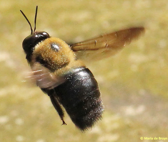 Carpenter-bee-in-flight